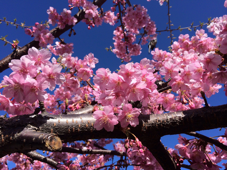 河津桜!きれいに咲いています!!!!!!!ヽ(^o^)丿