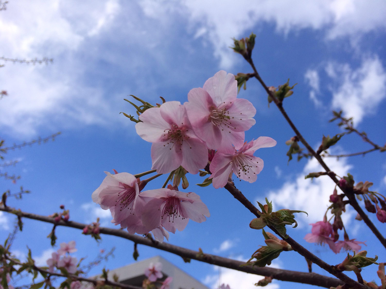河津桜!きれいに咲いています!!!!!!!ヽ(^o^)丿4