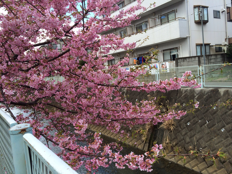 河津桜!きれいに咲いています!!!!!!!ヽ(^o^)丿6