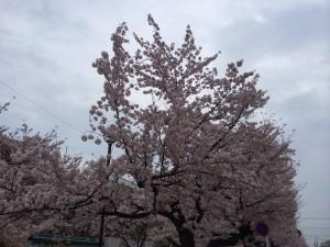 こちらは地元の桜です!桜はいいですねヽ(^o^)丿