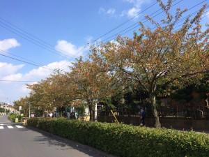 家の近所!春は桜が咲いています!少しずつ色づいてきました!