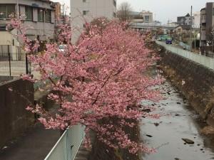 ジム近くの河津桜が満開です!!!!