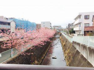 河津桜☆八分咲きくらいでしょうか、きれいです(*^_^*)