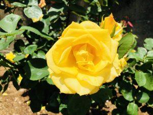 ばら苑!生田緑地!いろんなバラがきれいでした!