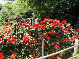 ばら苑!生田緑地!赤いバラ!