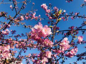 青い空と桜とつぼみ!生田・五反田川の河津桜!