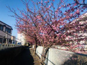 生田・五反田川の河津桜!