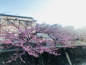 天気や時間帯によっても表情を変えます!生田・五反田川の河津桜!