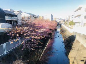 まだ満開ではありません!生田・五反田川の河津桜!