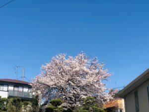 家の近くの桜!
