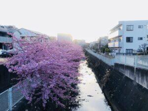 河津桜が満開です!新たな門出を祝ってくれているのでしょうか!