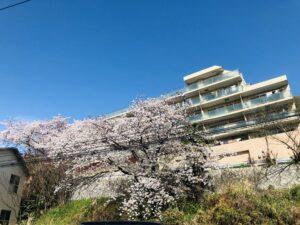 通園途中の桜!