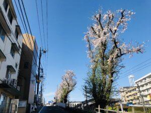 百合ヶ丘駅近くの桜!